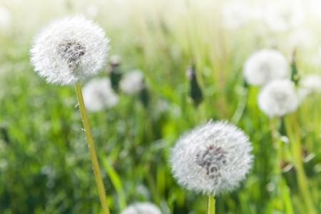 Macro photo with dandelion flowers with white fluffy flying seeds macro photo with dandelion flowers with white fluffy flying seeds stock photo 20104095 mightylinksfo