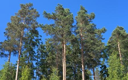 Pine trees above blue sky photo