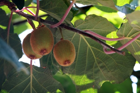 kiwi fruta: Kiwi colgado en la foto del primer ramal Foto de archivo