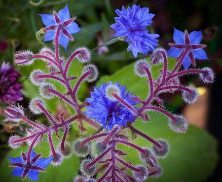 Mavi Hodan ve Peygamber çiçeği çiçek çekim fotoğraf arka plan Stok Fotoğraf - 21299078