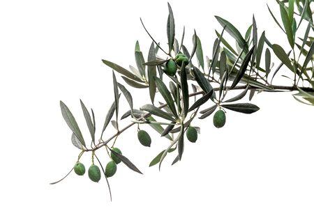 rama de olivo: Aceitunas verdes en la rama aislados en blanco Foto de archivo