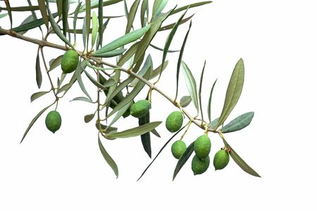 olive trees: Green olive branch isolated on white