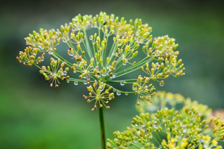 Wet dill flowers macro photo. Anethum graveolens