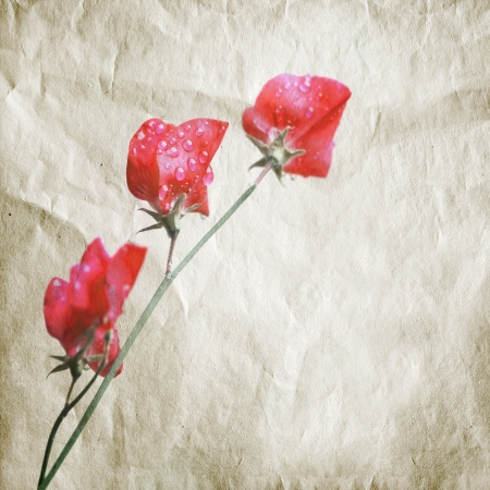 Pink sweet pea flowers  Lathyrus odoratus  above old paper texture  Aquarelle Stylized photo photo