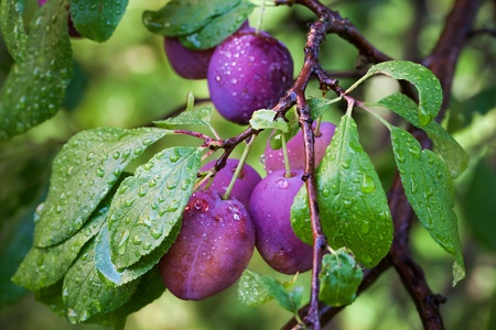Ripe plums on the branch with dew droplets photo