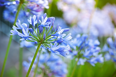 Macro photo of bright blue Agapanthus flowers in the garden