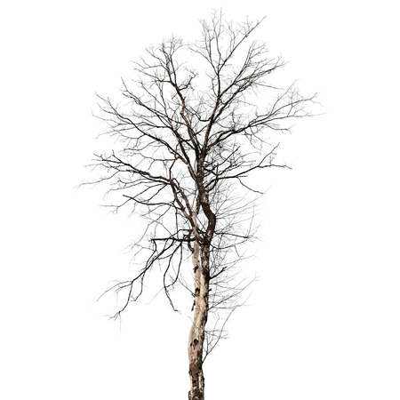 Dry dead tree isolated on white background