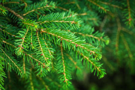 Bright green fir tree branches macro photo with selective focus Stock Photo - 22928913