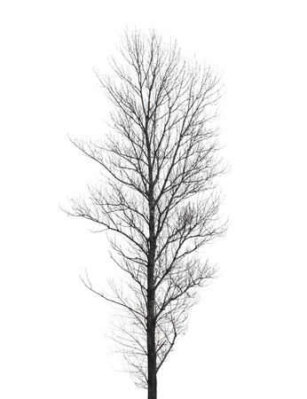 poplar: Tall poplar tree without leaves in winter isolated on white