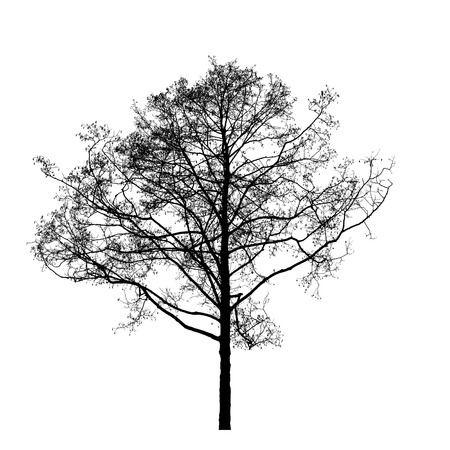 alder tree: Black leafless alder tree photo silhouette on white background