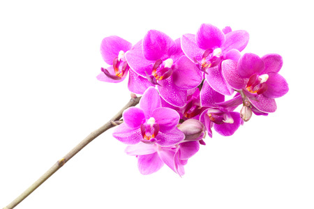 Group of pink orchid flowers isolated on white background photo