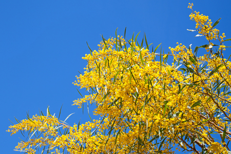 Bright yellow flowers of Golden wattle  Acacia pycnantha