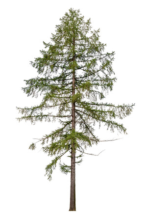 Tall European larch tree isolated on white background