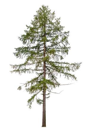 Tall Europese lariks boom geïsoleerd op witte achtergrond Stockfoto