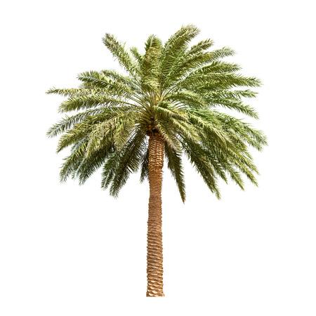 Großdatum Baum isoliert auf weißem Hintergrund