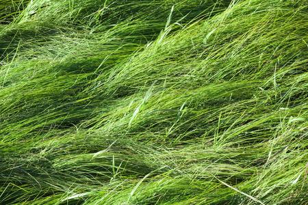 meadow  grass: Wild prado de hierba verde, fondo textura de la foto Foto de archivo