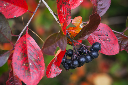 Branch of black chokeberry with black fruits and red autumnal leaves photo