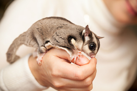 arboreal: Gray sugar glider. Petaurus breviceps, arboreal gliding possum seats on woman hand, macro photo with selective focus Stock Photo