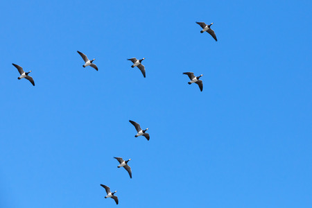 Group of Canadian geese flying in V shaped flock on blue sky background photo
