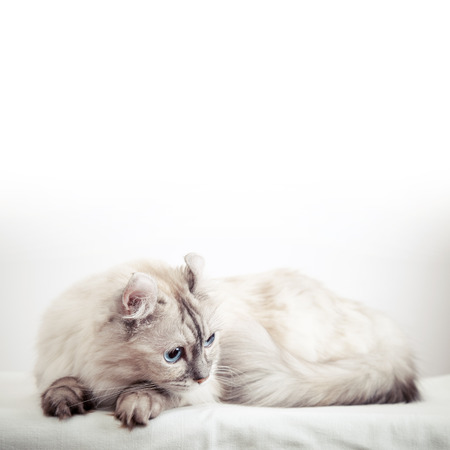 pointed: White American Curl cat with pointed color fur. Close-up studio photo Stock Photo