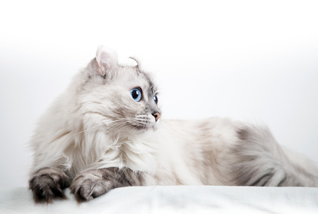 american curl: White American Curl cat with pointed color fur. Closeup studio photo