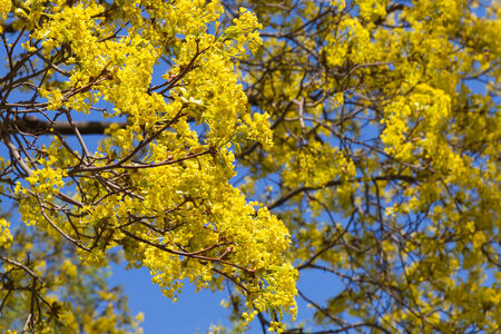 linden blossom: Bright linden blossom on branches on blue sky background Stock Photo
