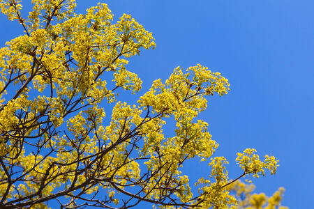 linden blossom: Bright linden blossom on branches above blue sky background Stock Photo