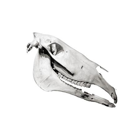 jawbone: Horse skull profile isolated on white background