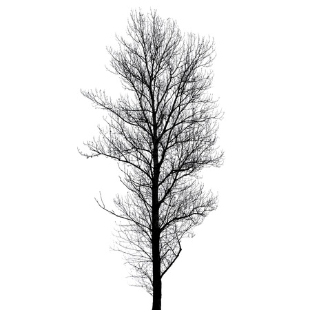 european white birch: Leafless poplar tree silhouette isolated on white background. Stylized photo
