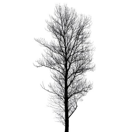 european white birch: Leafless poplar tree silhouette isolated on white background. Stylized photo