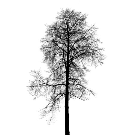 european white birch: Leafless birch tree silhouette isolated on white background. Stylized photo