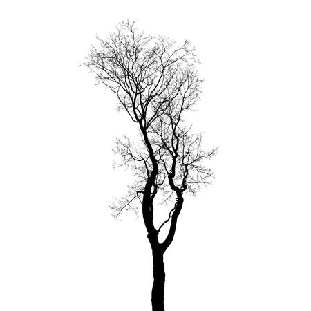 european white birch: Leafless tree silhouette isolated on white background. Stylized photo Stock Photo