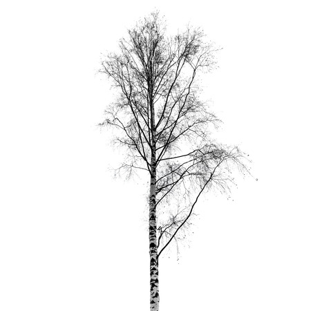 european white birch: Leafless birch tree silhouette isolated on white background. Stylized photo