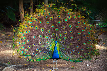 blue bird: Wild Peacock goes in dark tropical forest with Feathers Out Stock Photo