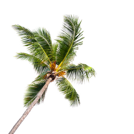 Single coconut palm tree isolated on white background