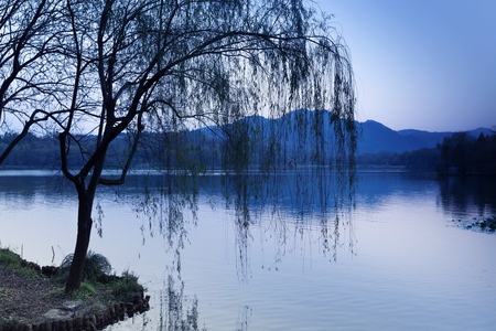 Black weeping willow silhouette on the coast. Walking around famous West Lake park in Hangzhou city center, China. Blue toned photo