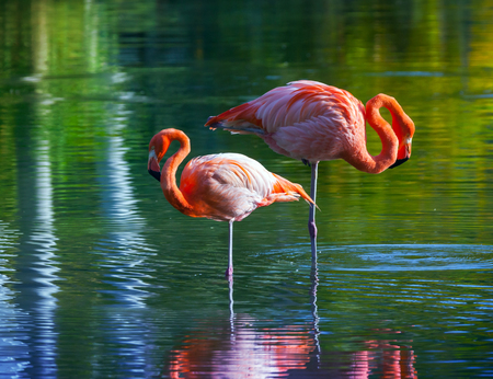 tonal: Two pink flamingos standing in the water with reflections. Stylized photo, with colorful tonal correction filter effect Stock Photo