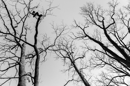 sky brunch: Leafless dare trees over sky background. Black and white natural background photo