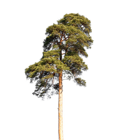 single tree: Detailed photo of European pine tree isolated on white background Stock Photo