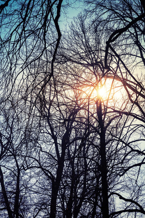 tonal: Shining sun with lens flare in bare trees silhouettes over blue sky, natural background photo, tonal correction filter effect Stock Photo