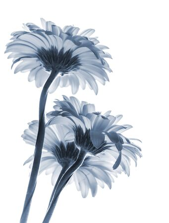gerber flowers isolated on: Gerbera flowers isolated on white background, blue toned macro photo with shallow DOF