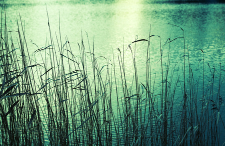 tonal: Coastal reed silhouettes, green toned photo, retro style tonal filter Stock Photo