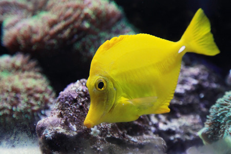 yellow tang: Tropical yellow tang aquarium fish, closeup photo with shallow DOF