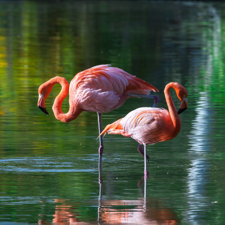 tonal: Two pink flamingos stand in the water with reflections. Stylized square photo, with colorful tonal correction filter effect