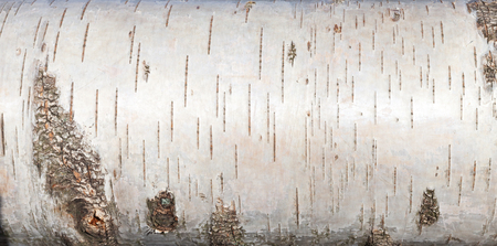 White birch bark, closeup background texture