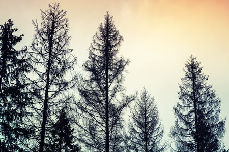 Tall old spruce trees, black silhouettes over cloudy sky, colorful tonal photo filter, vintage style photo