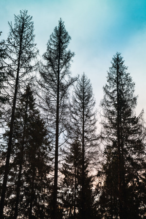 tonal: Tall old spruce trees, black silhouettes over cloudy sky, tonal photo filter, vintage style Stock Photo