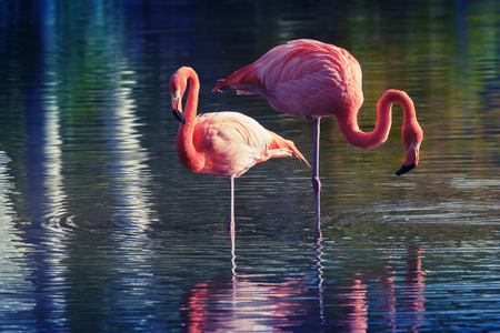 tonal: Two pink flamingos standing in the water with reflections. Stylized photo with colorful tonal correction old style filter effect Stock Photo