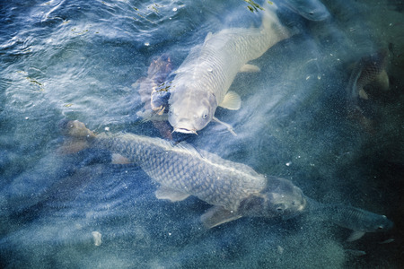 tonal: Group of big carps floats in blue water, stylized photo with blue tonal correction filter, selective focus and shallow DOF