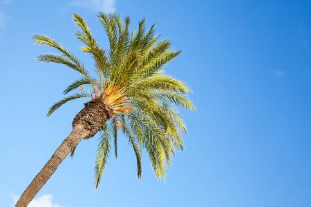 date palm tree: Date palm tree over blue sky background Stock Photo